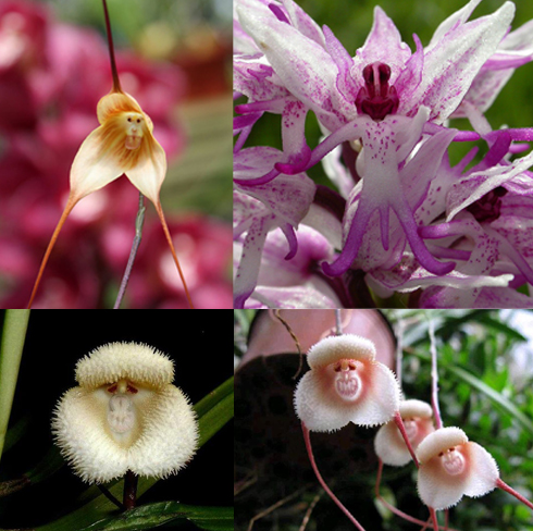1-monkey-orchid (1)